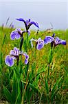 Blue flag iris wild flowers in Newfoundland Canada Stock Photo - Royalty-Free, Artist: Elenathewise                  , Code: 400-05731751