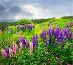 Purple and pink garden lupin wild flowers in Newfoundland Stock Photo - Royalty-Free, Artist: Elenathewise                  , Code: 400-05731754