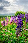 Purple and pink garden lupin wild flowers in Newfoundland Stock Photo - Royalty-Free, Artist: Elenathewise                  , Code: 400-05731755