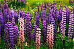 Purple and pink garden lupin wild flowers in Newfoundland Stock Photo - Royalty-Free, Artist: Elenathewise                  , Code: 400-05731762