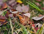 common frog or european brown frog perfectly camouflated between the autumn leaves Stock Photo - Royalty-Free, Artist: hansenn                       , Code: 400-05731811