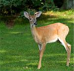 Two point whitetail buck that has its antlers still in velvet Stock Photo - Royalty-Free, Artist: gsagi                         , Code: 400-05732010