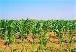 Fields Of Young Corn in Italy Stock Photo - Royalty-Free, Artist: gkuna                         , Code: 400-05732140
