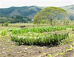 tobacco harvest, Ciego de Avila Province, Cuba Stock Photo - Royalty-Free, Artist: phbcz                         , Code: 400-05732759