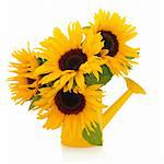 Sunflower arrangement in a yellow watering can isolated over white background. Stock Photo - Royalty-Free, Artist: marilyna                      , Code: 400-05733584