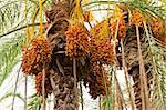 Bunch of dates is hanging from the palm Stock Photo - Royalty-Free, Artist: Fyletto                       , Code: 400-05734040