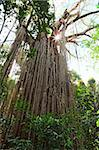 curtain fig tree in Atherton Tabellands Queensland Australia, huge old tropical rainforest tree witj sun shining through canopy Stock Photo - Royalty-Free, Artist: kikkerdirk                    , Code: 400-05735754