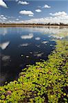 wetlands billabong Australian swamp lake with floating leaves and blue sky reflected in the water Stock Photo - Royalty-Free, Artist: kikkerdirk                    , Code: 400-05735755