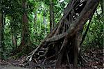 strangler fig tree trunk in tropical Australian rain forest Daintree Cape tribulation Stock Photo - Royalty-Free, Artist: kikkerdirk                    , Code: 400-05735761