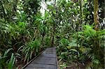 boardwalk in pristine tropical rain forest exploring jungle paradise of Daintree rainforest Queensland a beautiful adventure Stock Photo - Royalty-Free, Artist: kikkerdirk                    , Code: 400-05735763