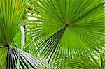 palm leaf detail exotic tropical jungle background rain forest pattern with lines vibrant green colors in rainforest Stock Photo - Royalty-Free, Artist: kikkerdirk                    , Code: 400-05735775