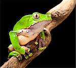 frog at night in amazon rain forest sitting on a jungle tree branch Stock Photo - Royalty-Free, Artist: kikkerdirk                    , Code: 400-05735791