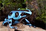 blue poison dart frog poisonous animal of Panama rain forest golden dartfrog Stock Photo - Royalty-Free, Artist: kikkerdirk                    , Code: 400-05735800