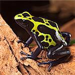 poison forg or dart frog with bright vivid colors beautiful amphibian pet of the amazon rain forest Dendrobates tinctorius a poisonous animal