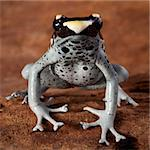 dart frog dendrobates tinctorius, beautiful animal of the amazon rainforest amphibian with poison and bright vivid colors yellow  balck and blue
