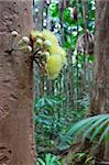 tree flower of trpical rain forest, blooming directly on trunk, Daintree jungle Queensland Australia Stock Photo - Royalty-Free, Artist: kikkerdirk                    , Code: 400-05735805