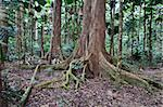 majestic tree trunks and roots in primary rain forest Australia Daintree nature reserve needs protection and conservation ancient tropical jungle Stock Photo - Royalty-Free, Artist: kikkerdirk                    , Code: 400-05735806