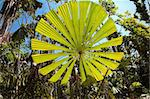Fan palm tree with big round leaf lit by vibrant sun in Australian tropical rain forest, Licuala ramsayi Stock Photo - Royalty-Free, Artist: kikkerdirk                    , Code: 400-05735807
