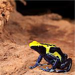 yellow black poison dart frog with blue belly, beautiful tropical rain forest amphibian a colorful pet animal kept in a terrarium