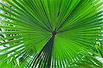 palm leaf detail exotic tropical jungle background rain forest pattern with lines vibrant green colors in rainforest Stock Photo - Royalty-Free, Artist: kikkerdirk                    , Code: 400-05735831