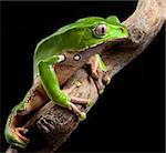 green tree frog amazon rain forest exotic tropical amphibian pet at night in jungle Stock Photo - Royalty-Free, Artist: kikkerdirk                    , Code: 400-05735843