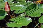 green frog on lily pad in the pond