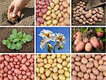 collage of potatoes growing Stock Photo - Royalty-Free, Artist: DLeonis                       , Code: 400-05740402