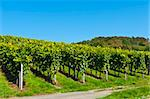 On of the many vineyards in Switzerland Stock Photo - Royalty-Free, Artist: Fyletto                       , Code: 400-05742231
