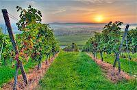 photohomepage - Morning sun in vineyard in Germany Stock Photo - Royalty-Freenull, Code: 400-05742270