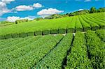 Beautiful fresh green tea plantation at Nihondaira, Shizuoka - Japan Stock Photo - Royalty-Free, Artist: Fyletto                       , Code: 400-05743525
