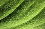 Beautiful water drops on a leaf close-up Stock Photo - Royalty-Free, Artist: haveseen                      , Code: 400-05744565