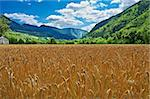 Wheat Field in the French Alps on a Cloudy Day Stock Photo - Royalty-Free, Artist: gkuna                         , Code: 400-05745129