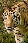 A Royal Bengal tiger looks for pray