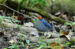 beautiful male blue pitta (Pitta cyanea) Stock Photo - Royalty-Free, Artist: cowboy54                      , Code: 400-05748442
