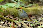 beautiful male blue pitta (Pitta cyanea) Stock Photo - Royalty-Free, Artist: cowboy54                      , Code: 400-05748445