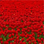 Spring field full of beautiful red tulips Stock Photo - Royalty-Free, Artist: iko                           , Code: 400-05750471