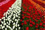 Spring field full of beautiful and colorful tulips Stock Photo - Royalty-Free, Artist: iko                           , Code: 400-05750476