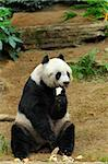 panda Stock Photo - Royalty-Free, Artist: leungchopan                   , Code: 400-05751753