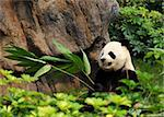 panda Stock Photo - Royalty-Free, Artist: leungchopan                   , Code: 400-05751756
