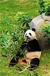 panda Stock Photo - Royalty-Free, Artist: leungchopan                   , Code: 400-05751757