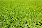 paddy rice field Stock Photo - Royalty-Free, Artist: leungchopan                   , Code: 400-05751771