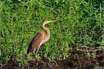 red heron (ardea purpurea) in the Danube Delta, Romania Stock Photo - Royalty-Free, Artist: porojnicu                     , Code: 400-05752623