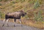 Bull Moose Alberta rocky Mountains full length