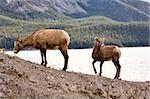 Rocky Mountain Sheep Alberta Canada young kid Stock Photo - Royalty-Free, Artist: pictureguy                    , Code: 400-05753252