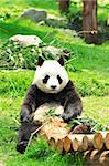 panda Stock Photo - Royalty-Free, Artist: leungchopan                   , Code: 400-05754766