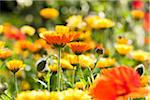 Close-up of Corn Poppies and Pot Marigolds in Field, Germany Stock Photo - Premium Royalty-Free, Artist: F. Lukasseck, Code: 600-05756155