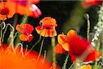 Corn Poppies, Germany Stock Photo - Premium Royalty-Free, Artist: F. Lukasseck, Code: 600-05756166