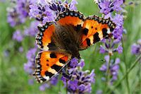 Small Tortoiseshell butterfly (Aglais urticae) on lavender Stock Photo - Premium Royalty-Freenull, Code: 632-05759529