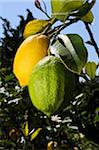 lemon fruit on tree Stock Photo - Premium Royalty-Free, Artist: Damir Frkovic, Code: 618-05761959