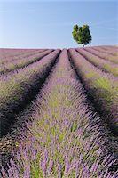 English Lavender Field with Tree, Valensole, Valensole Plateau, Alpes-de-Haute-Provence, Provence-Alpes-Cote d´Azur, France Stock Photo - Premium Royalty-Freenull, Code: 600-05762098